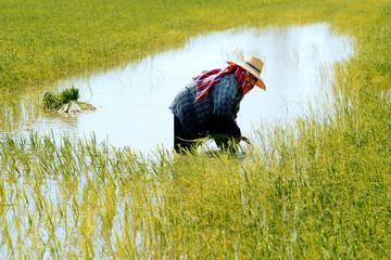 Paysan au travail dans la riziere