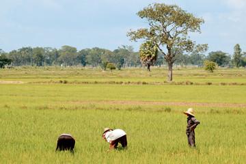 Fermiers au travail dans les rizieres.