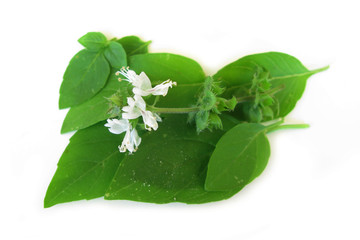 Basil fresh leaves with flower