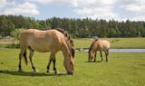 Przewalski Horse at captive breeding poster