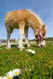 Horse foal eating green grass