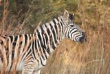 Zebra on safari poster