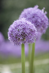 Purple Allium 5