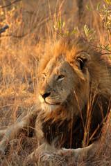 Lion in Sabi Sands