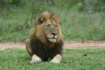 Male lion staring