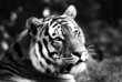 Des Tigers sanfter Blick