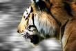 Tiger bei der Jagd 2