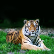 wildes Tier ( Tiger )
