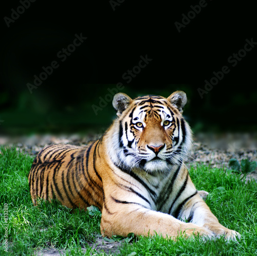 wildes Tier ( Tiger )