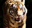 Tiger in all seiner Schönheit