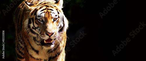 Papiers peints Tigre Tiger bei der Jagd