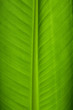 Leinwanddruck Bild Banana Leaf Closeup