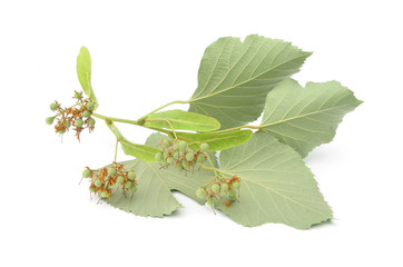 Tilia lime linden basswood leaves and fruits