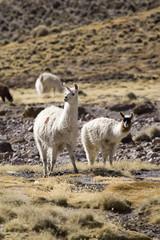 Alpacas im Altiplano, Chile, Südamerika