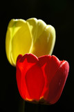 a few tulips poster
