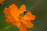 Ozark Ticksee Flower with Bee - 8365458
