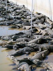 Hundreds of Crocodiles