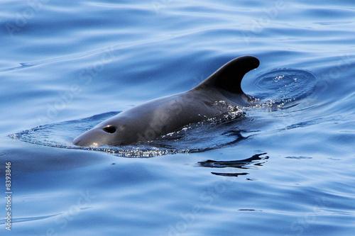 Dolphin Wal