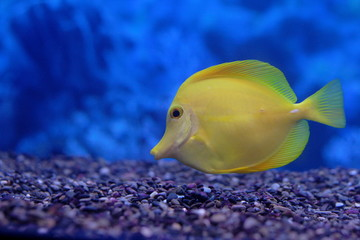 yellow  zebrasoma floats in aquarium