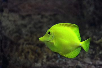 yellow zebrasoma floats in aquarium against reef