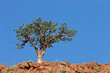 Corkwood tree (Commiphora spp.), Namibia, southern Africa