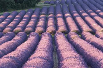 champ de lavandes en fleurs