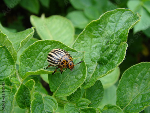 Potato beetle - 8414435