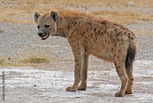Tuinposter Hyena Hyäne, Tüpfelhyäne, Afrika, Kenia, wildlife