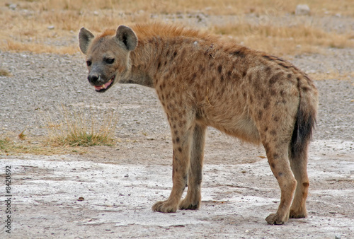 Fotobehang Hyena Hyäne, Tüpfelhyäne, Afrika, Kenia, wildlife