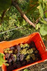 Vendemmia del Pinot Grigio - Colli Orientali del Friuli