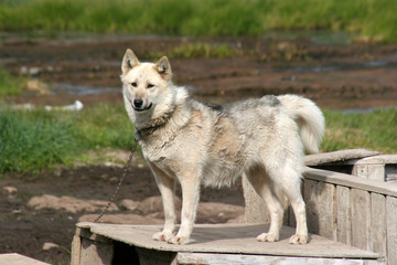 Sled dog standing on a box in Ilulissat, Greenland