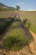 Plantations de lavandes