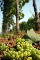 Diradamento dell uva - Colli Orientali del Friuli