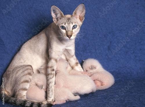 Papiers peints Chat chat portée Siamois