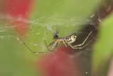 Linyphia triangularis spider with prey on web
