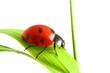 Quadro red ladybug