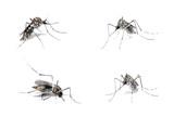 Dengue Host poster