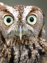 Screech owl close up