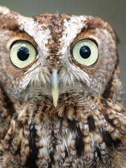 Screech owl close up