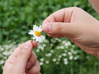 Guessing on a camomile