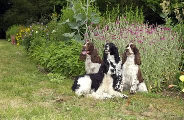 Chiens de race Springer Spaniel