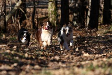 course de trois bergers australiens