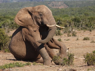 Young Elephant bull playing and sitting.