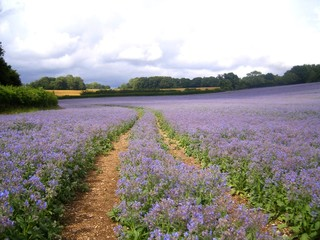 Starflower Crop - Lilac Field path
