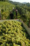 Vendemmia manuale - Friuli Colli Orientali