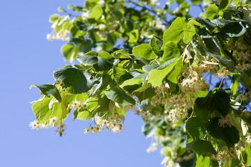 Fleurs de tilleul sur son arbre