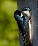Tree Swallow(iridoprone bicolor) poster