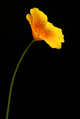Kalifornischer Mohn - California poppy 03