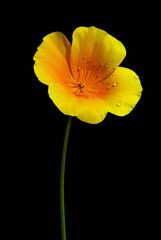 Kalifornischer Mohn - California poppy 04