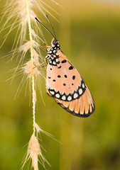 Tawny Coaster Butterfly on Drenched Grass Flowers